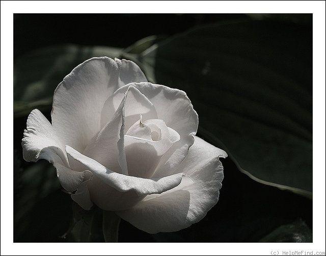 'White Blush' Rose Photo