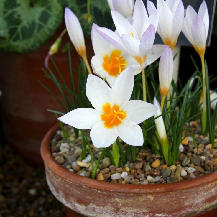 Весенние комнатные цветы фото