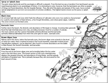 Rocky Shore Zonation Essay Dissertation Help