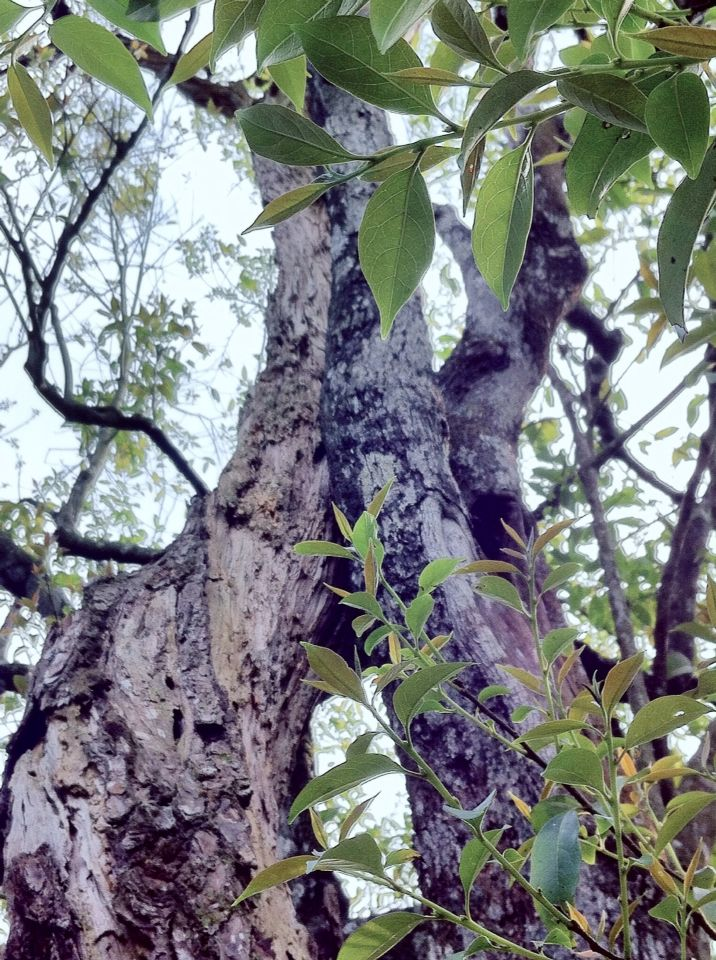 Couple tree. ( #couples / #tree / #leaves / #shiding / #thousandislandslake / #newtaipei / #taiwan / #2015 / #夫妻樹 / #情人樹 / #樹木 / #石碇 / #千島湖 / #新北市 / #臺灣 / #台灣 / #台湾 )