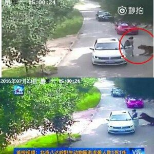 Photo story of woman killed by a tiger at Beijing open-range park