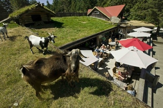 In British Columbia, go to Parksville for local attraction, Coombs Country Market, aka Goats on the Roof. The eclectic shop is full of treasures of all shapes and sizes and goats nosh overhead on the sod roof.