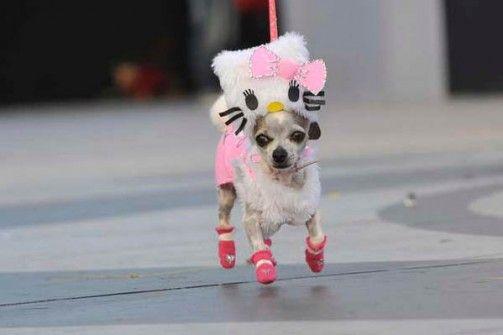 Disfraces para Mascotas en Halloween - Disfraz de Hello Kitty para Chihuahuas that pretty