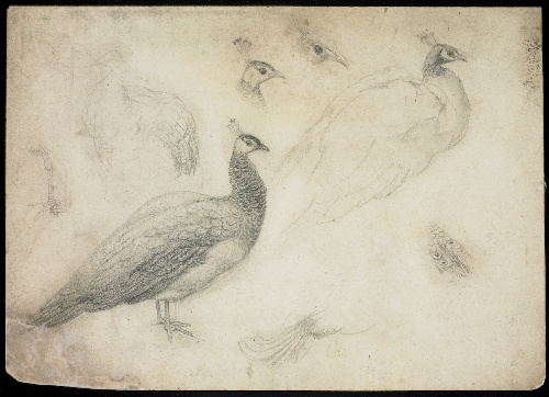 Walter Crane - study of a peacock