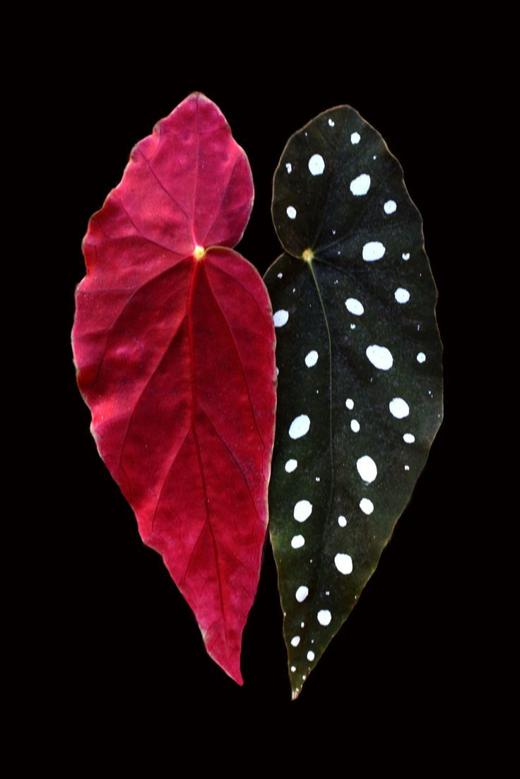 Plants - Begonia Maculata (right), spotted begonia