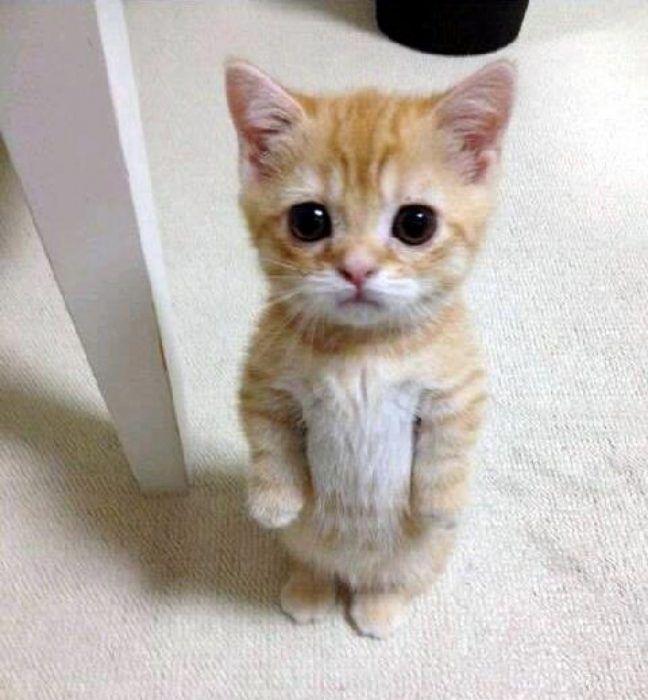Porque toda chica debe tener un gato Munchkin (10)