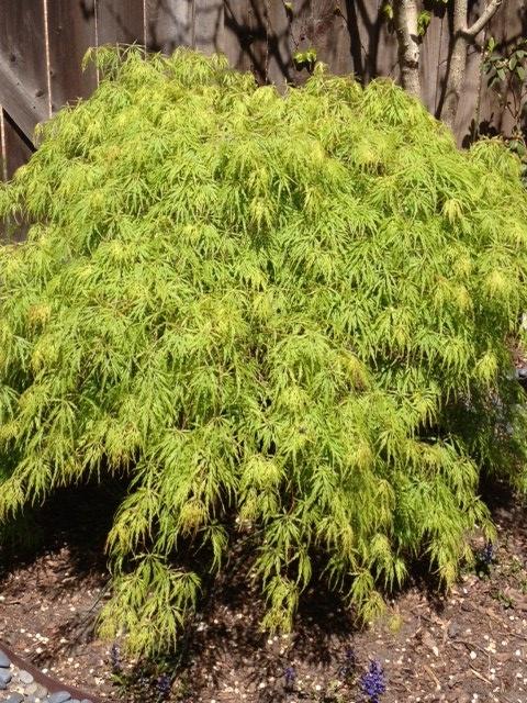 green laceleaf japanese maple | Gardening | Pinterest