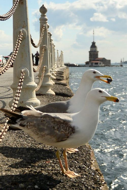 double wing *** by Yaşar Koç Seagulls and maiden's tower,istanbul,turkey