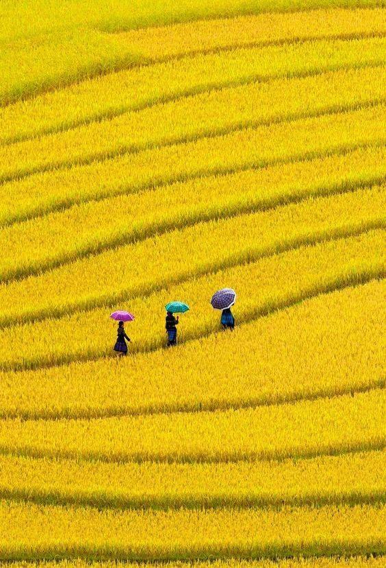 Canola field in Vietnam...... Campo de canola, no Vietnã.