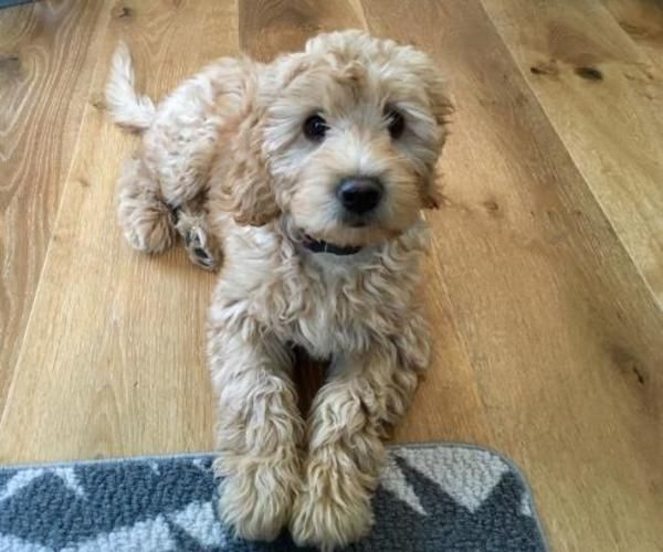 Soft Coated Wheaten Terrier Poodle Dog For Adoption In Toronto