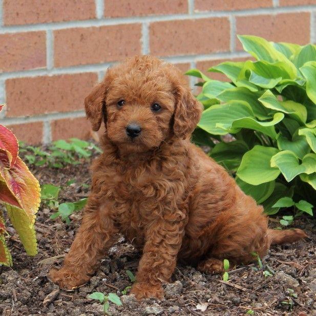 Cute Minilabradoodle Mini Labradoodle Puppy Labradoodle Puppy