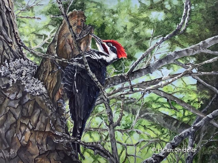 This pileated woodpecker was happily working away in our