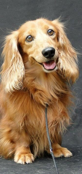 Ratataplan. Pretty Cream longhaired doxie!