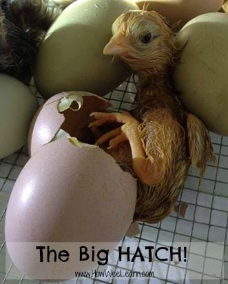 Our experience hatching chicken eggs with kids - includes to AMAZING videos!!!!  Lots of wonderful tips and everything you need to know about incubating and hatching chicken eggs at home or in the classroom! www.HowWeeLearn.com