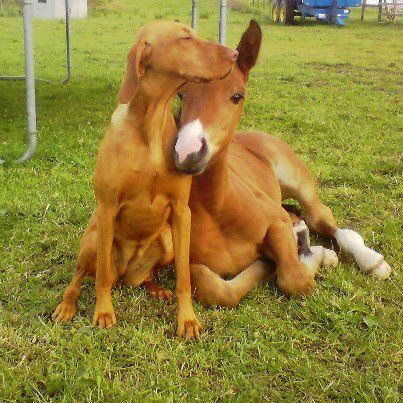 Horse and dog. Cute little foal snuggled up with a dog. They are so much the same color, I had a hard time telling what I was looking at at first. Adorable animal friends.