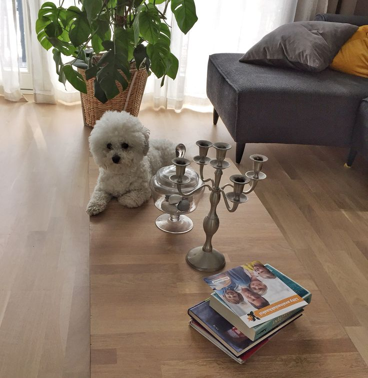 The DIY coffee table is a perfect hang out place for a Bichon Frisé.