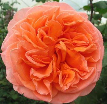 Orange Garden Rose 62 best rose garden images on pinterest | nature, flowers and