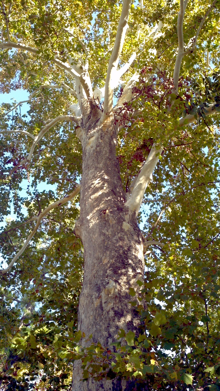 plant list: Sycamore Tree