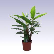 Zebralevél, Calathea rufibarba A Calathea vagy zebralevél Brazíliából származik, a trópusi esőerdők növénye. Évelő, lágyszárú, rizómás, örökzöld. Hosszú levélnyélen hozza hullámos, hosszúkás leveleit, amelyek egyedi módon bordószínű fonákkal rendelkeznek, felül viszont sötétzöldek. Élénk narancsszínű virágzatot hoz, amely feltűnő fellevelekből, és igen apró virágokból áll. Kissé nehézkesen vehető rá a virágzásra, ám az év bármely részében nyílhat.
