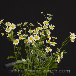 Tanacetum Victory single white
