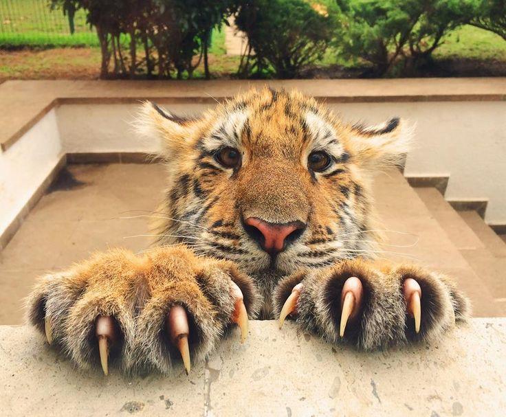 """awwww-cute: """" Floofy murder mittens… (Source: http://ift.tt/1pmrf9c) """""""