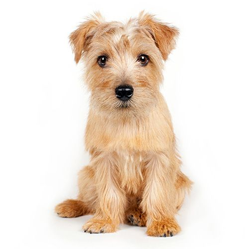 Norfolk Terrier                                                                                                                                                                                 More