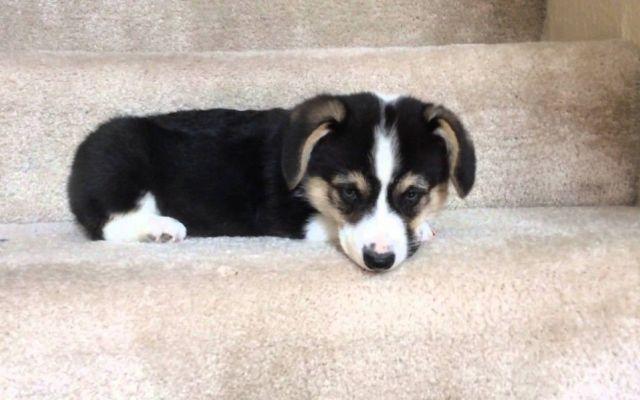 Peanut Butter: il cucciolo che ha paura di scendere le scale :) Questo filmato ha ottenuto in pochi giorni oltre un milione e mezzo di visualizzazione. Ecco il piccolo cucciolo di Corgi, chiamato Peanut Butter (ossia burro di Arachidi) alle prese con un'impresa p #cucciolo #videodivertente #corgi