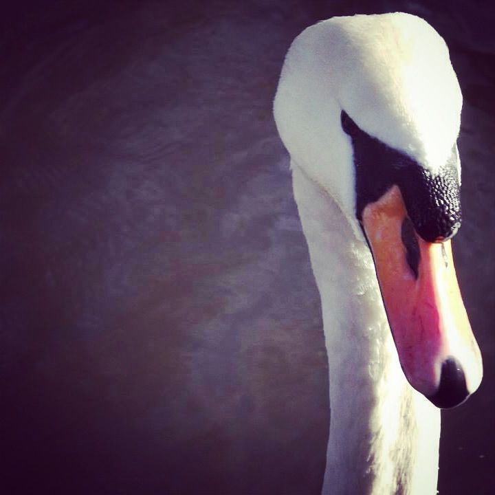 Swan on the river.
