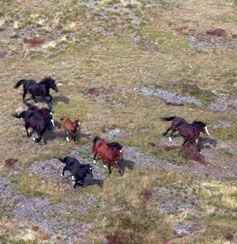 Wild Brumbies | Brumbies on the run in the Australian Alps.
