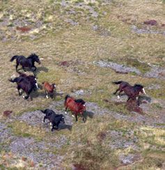 Wild Brumbies | Brumbies on the run in the Australian Alps.