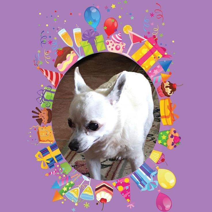 #sweet16 #happybirthday to the sweetest dog I've ever had. Pixxie is 16 today. Each day with her is a blessing. #thankyouLord for creating such wonderful creatures who show such #unconditionallove #chihauhau