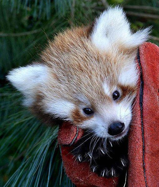 Favori 27 best Red Panda's images on Pinterest   Red pandas, Wild animals  OH52