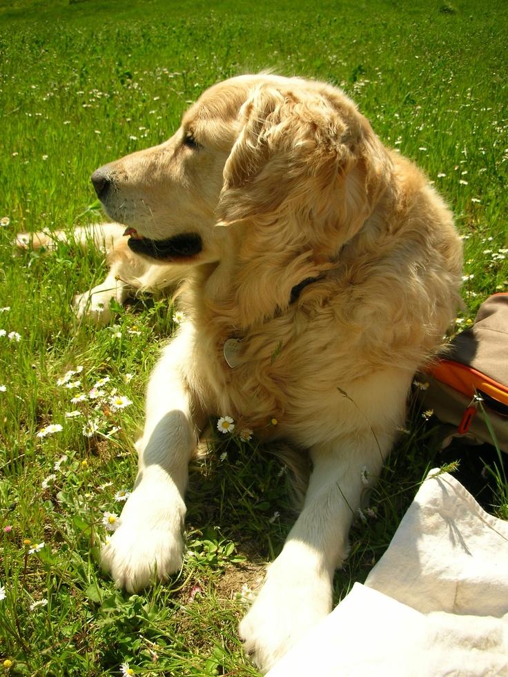 My lovely golden retriever Tristan .