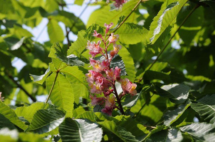 Ippocastano o  Castagno d'India (Aesculus hippocastanum)