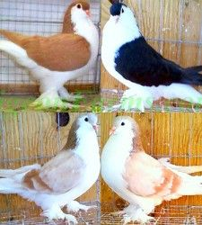 Lahore Pigeons for sale