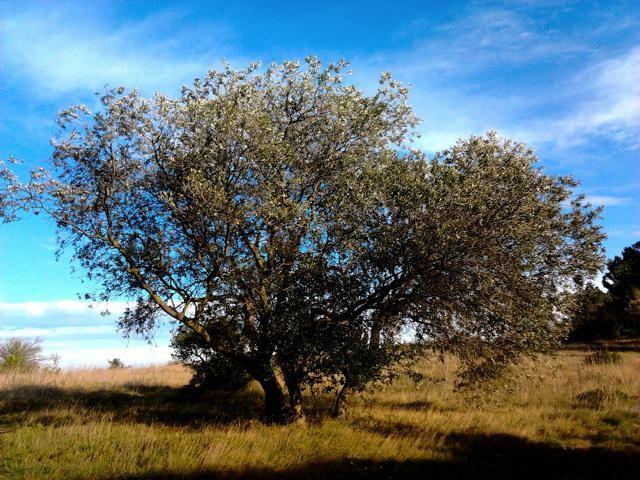 L'olivier.... à Pédros en mars 2014