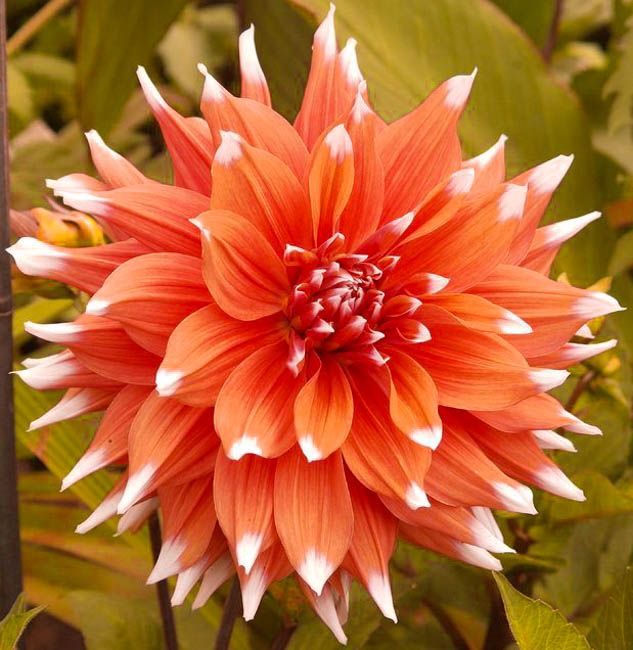 Such A Fabulous Cocktail Of Color Provided By Dahlia Color Spectacle With Its Profusion Of Spectacular Coral Orang In 2020 Flower Garden Plants Dahlia Flower Flowers