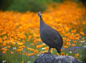 Guineafowl with wild flower background. Kirsternbosch Cape Town