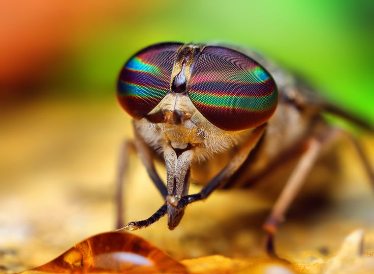 Horse Fly #aceexterminating #horsefly
