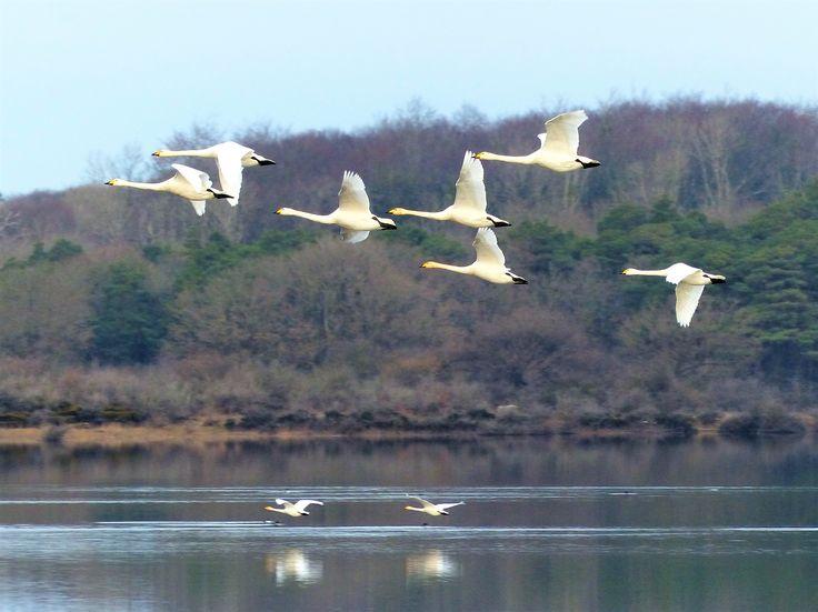 Whooper swans, Garryland, December 2017.