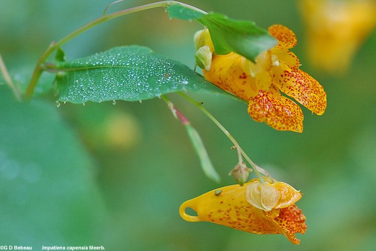 Spotted Jewelweed - I think I will start a board for wild plants and their uses. This can be used to alleviate the symptoms of poison ivy and insect bite irritation.