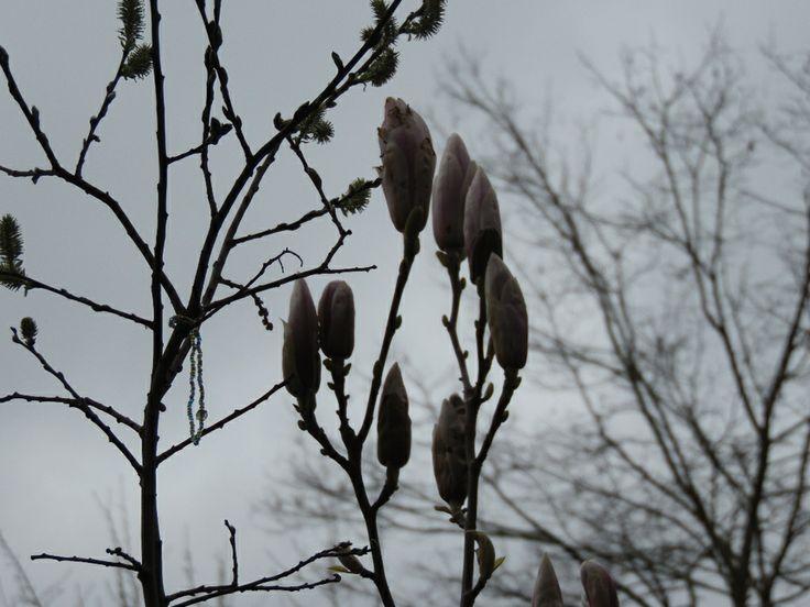 My Magnolium in Spring 2014! Mi Magnolio en Primavera 2014!