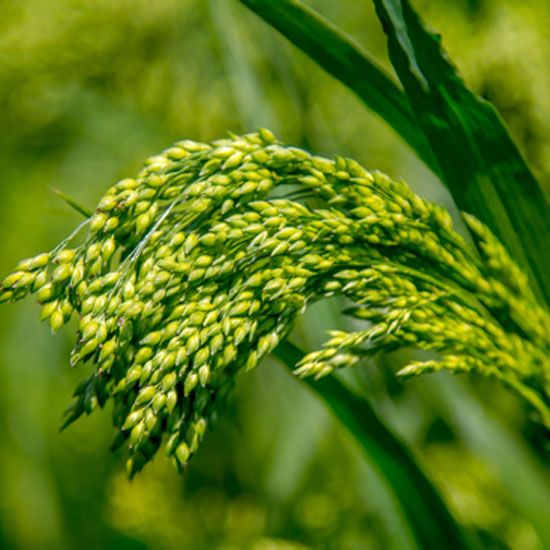 Millet is a fast-growing late-season crop, is easily adaptable in the kitchen, and outstrips many more common grains as a nutritional powerhouse.data-pin-do=