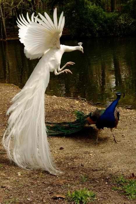 """""""AVENGE ME, HAMLET!""""Kung Fu Pandas, Pavo Real, Nature, Beautiful, Albino Peacocks, White Peacocks, Feathers, Birds, Animal"""