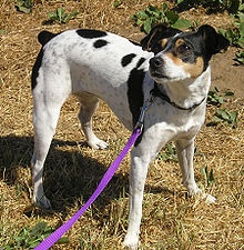 This is not my dog. But it could be! My first rat terrier, Wendell, passed away in 2009. Our new girl, Moochie, joined the family in January.
