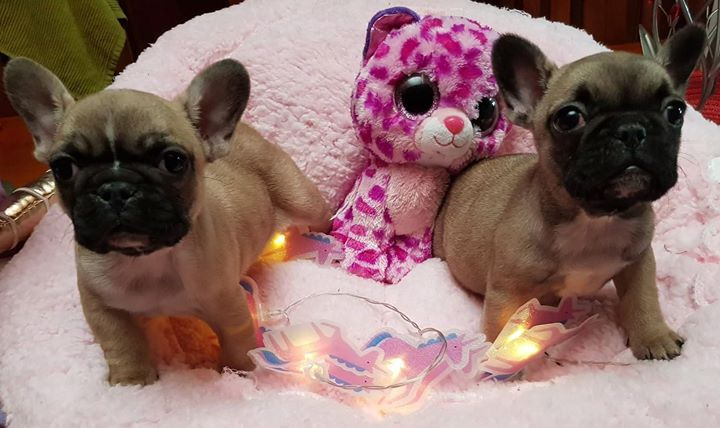 Registered French Bulldog Puppies For Sale Petspot Miniature