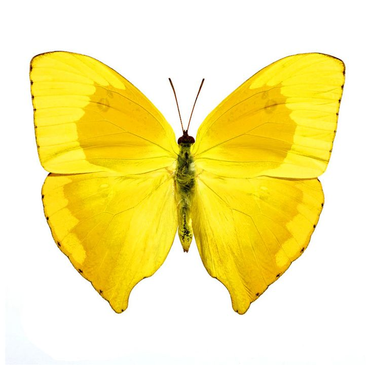 butterfly on yellow color - photo #5