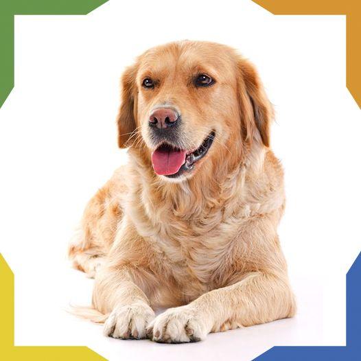 El Golden Retriever o 'Cobrador Dorado' es una raza originaria de Escocia. Es un perro con habilidades de caza y aptitudes para el rastreo. Es versátil, inteligente y de carácter amigable y alegre. Responde de manera óptima al entrenamiento, es excelente deportista y muy fiel a su amo. Estas características lo han convertido en la tercer raza familiar más popular.