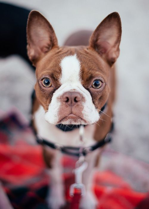 Red Boston Terrier Also Sometimes Referred To As Sorrel Coloring Is Very Rare But Beautiful My Dog Max Has A Little On Him Close
