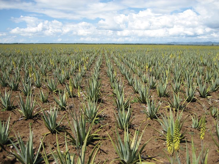 Wonderful sustainable aloe plantations. A rich and fruitful source of great #aloevera providing numerous #healthbenefits for #skin #beauty and the#soul #flowers #sky #fields